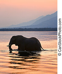 Elephant on the river Zambezi - Sundown Elephant on the...