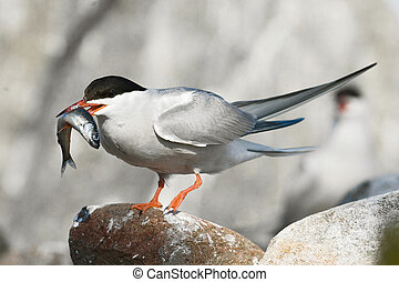 Boaster - The Common Tern Sterna hirundo is a seabird of the...