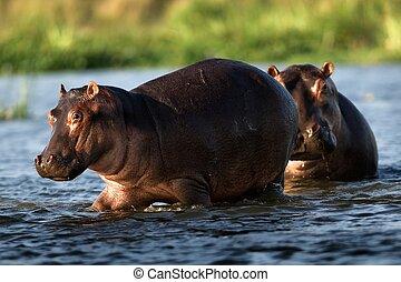 Two hippopotamuses. / The river Zambezi. Zambia. Africa.