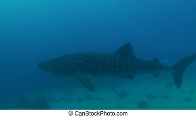 Whale shark in shallow water - Whale shark swimming in...
