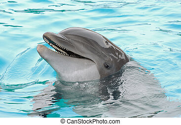 Dolphin - Smiling dolphin in blue water