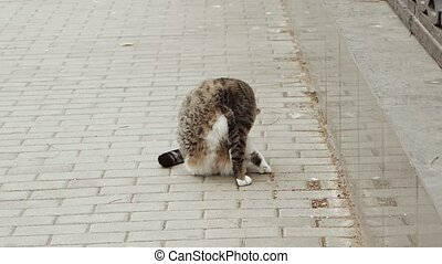 Feral cat grooming in the street.