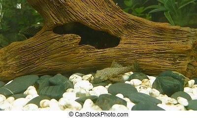 Underwater landscape closeup, planted fish tank with bottom...