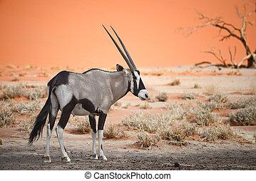 oryx, afrikas