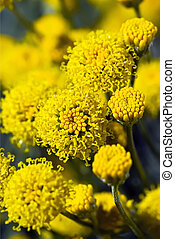 Santolina, Cotton Lavender Flowers - Group of Yellow...