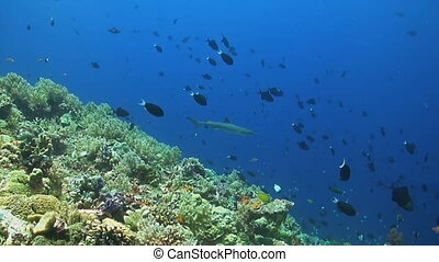 Whitetip reef shark swims along a coral reef with...
