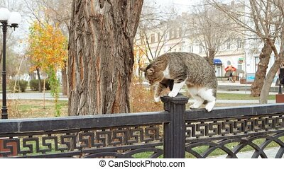 Feral tom cat walking on metal park fence - Feral tom cat...