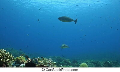 Whitetip reef shark swims along a coral reef