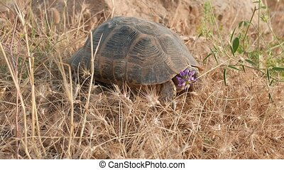 Lonesome tortoise walking - Hermann's Tortoise moving. in...