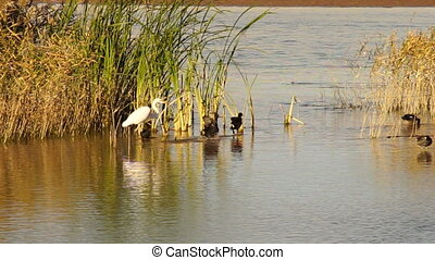 White Heron Egret Wild Birds Wade Lake Mead - A White Heron...