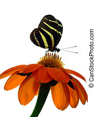 Zebra Longwing feeding on flower