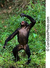 Singing Bonobo. - The Bonobo, Pan paniscus, previously...