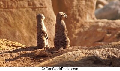 Alert Meerkat standing looking at the horizon on guard, then look at the camera with curious gesture