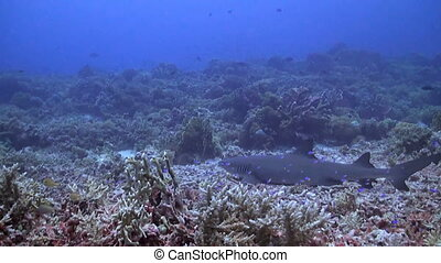 Whitetip reef shark on a coral reef