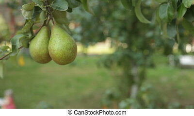 Large pear hangs on the tree. Ripe fruit. Fruit tree