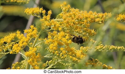 Insect Bumblebee Shrubs
