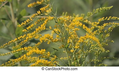 Insect Bumblebee Shrubs - In the bush with yellow flowers...