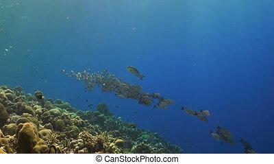 Humpback snapper on a coral reef - A school of humpback...
