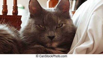 Gray cat lying on wooden chair and looking at camera with...