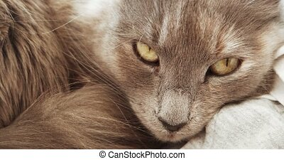 Adorable fluffy gray cat muzzle closeup. Cute cat sleeping.