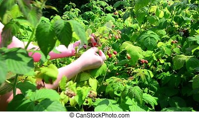 Woman reaps a crop of raspberries in garden - Woman reaps a...