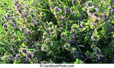 dead nettle the steppe - Wormwood swaying in the wind in the...