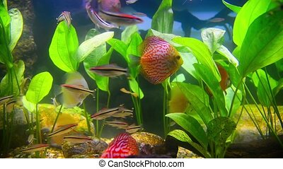 tropical fish in aquarium undervater - tropical fish and...