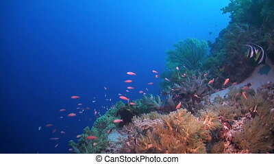 Colorful coral reef in Philippines - Coral reef with soft...