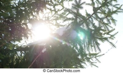 Winter fir tree nature snow sun glare on the branches of...