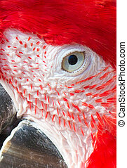 Scarlet Macaw Parrot Close Up Details