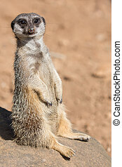 Meerkat or Suricate Animal - Cute meerkat or suricate...