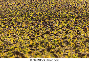 Sunflower field in Lausanne area. Lausanne, Vaud,...