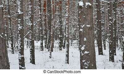 Dry trunks of pine christmas tree winter nature forest...
