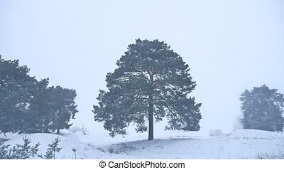 lonely christmas tree pine grow in winter snow storm forest...