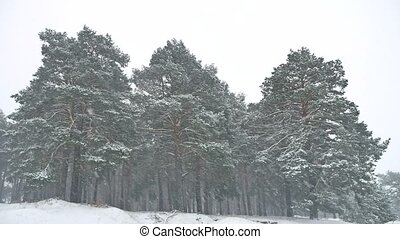 Beautiful christmas tree blizzard nature in winter landscape...