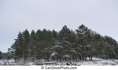 Winter forest pine forest wind with storm snow nature...