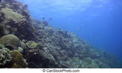 Colorful coral reef in Philippines - Whitetip Reef Shark...