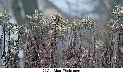 dried flowers swaying in the wind blue background winter...