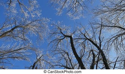 tops trees in snow frozen forest against blue sky nature...