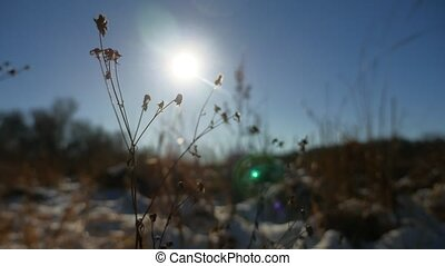 Winter dry grass in the snow field landscape snow nature -...