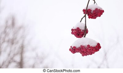red bunches branch of winter rowan covered with the first...
