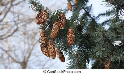 fir tree branches Christmas tree cones covered with snow on...