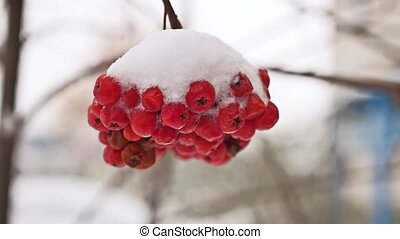 Red bunches tree branch of rowan covered with the first snow...