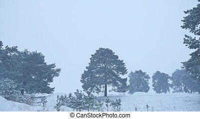 Beautiful christmas tree blizzard in winter landscape in...