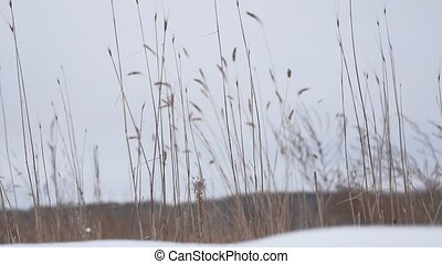 dry grass sways in the wind snow winter nature field...