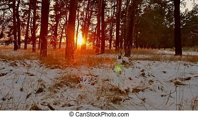 winter forest and sun landscape. christmas tree beautiful...