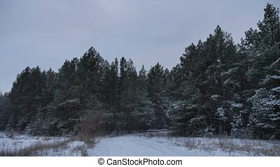 the tops of evening christmas tree nature trees in the...