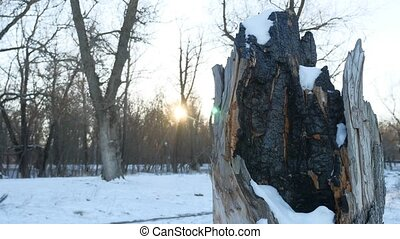 charred tree stump in the forest winter snow nature of fire...