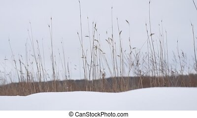 dry grass sways in the wind snow winter field beautiful...