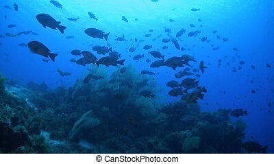 Snapper on a coral reef - A school of snapper on a coral...